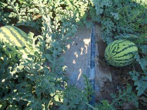 西瓜的节水灌溉方式