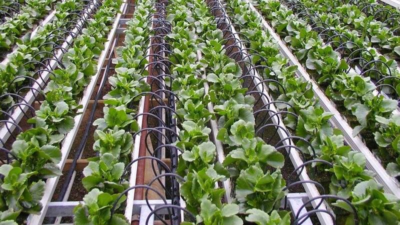 灌溉方式和灌水下限对温室淸茄生长、耗水特性及产量的影响