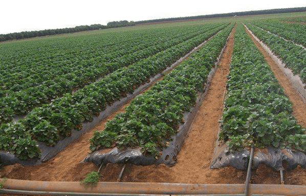 茶园灌溉是如何进行的