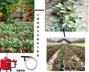 水肥一体化技术在大棚草莓种植中的应用