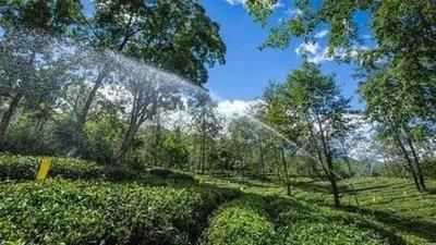 茶叶种植的水肥一体化知识,你知道吗?