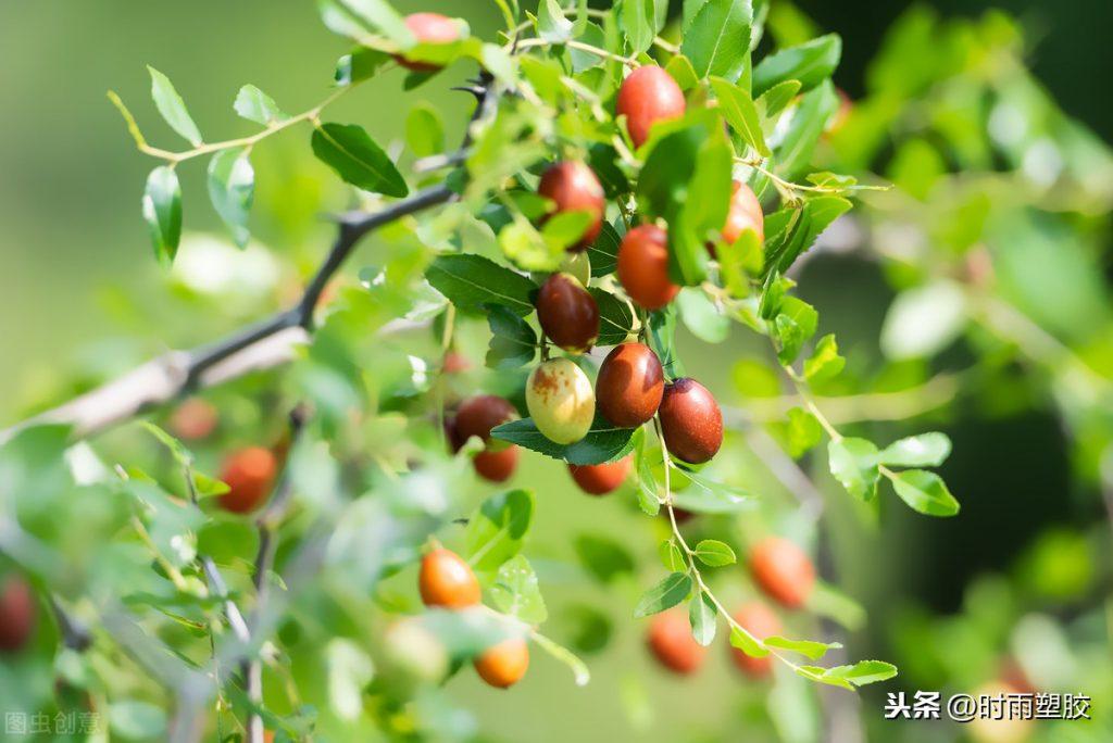 枣树有哪些灌溉方式