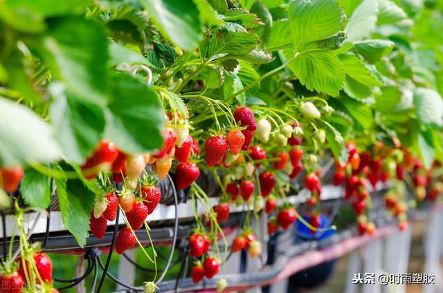 草莓灌溉的注意事项